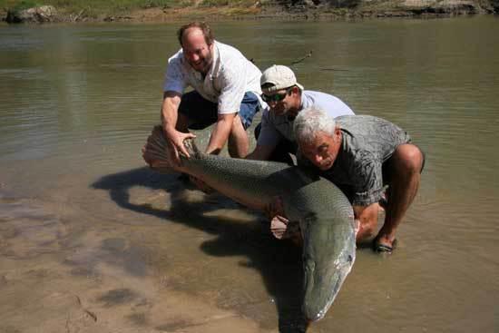 alligatorpansergedde