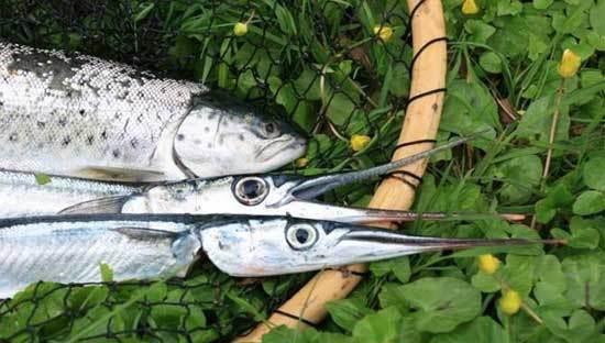 hornfisk_kolding_lystfiskerblog