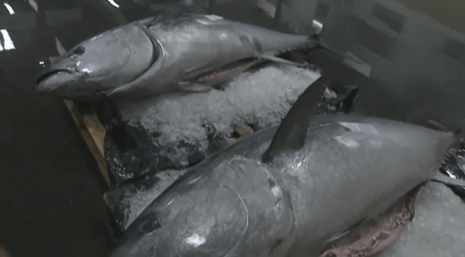 tunfisk_hirtshals_fiskeriauktion
