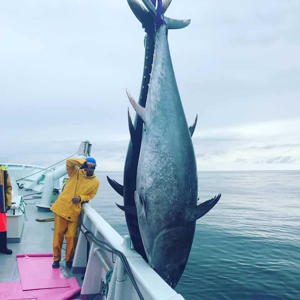 tunfisk_ms_bluefin