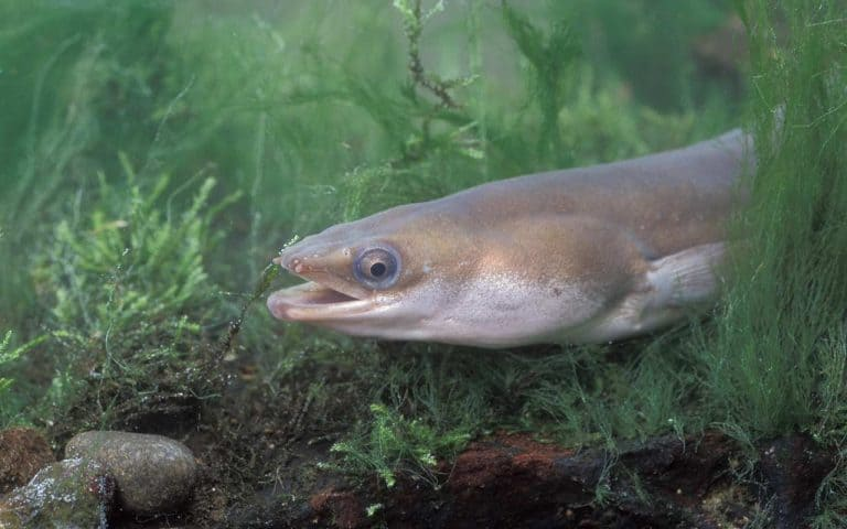 aal-fisk